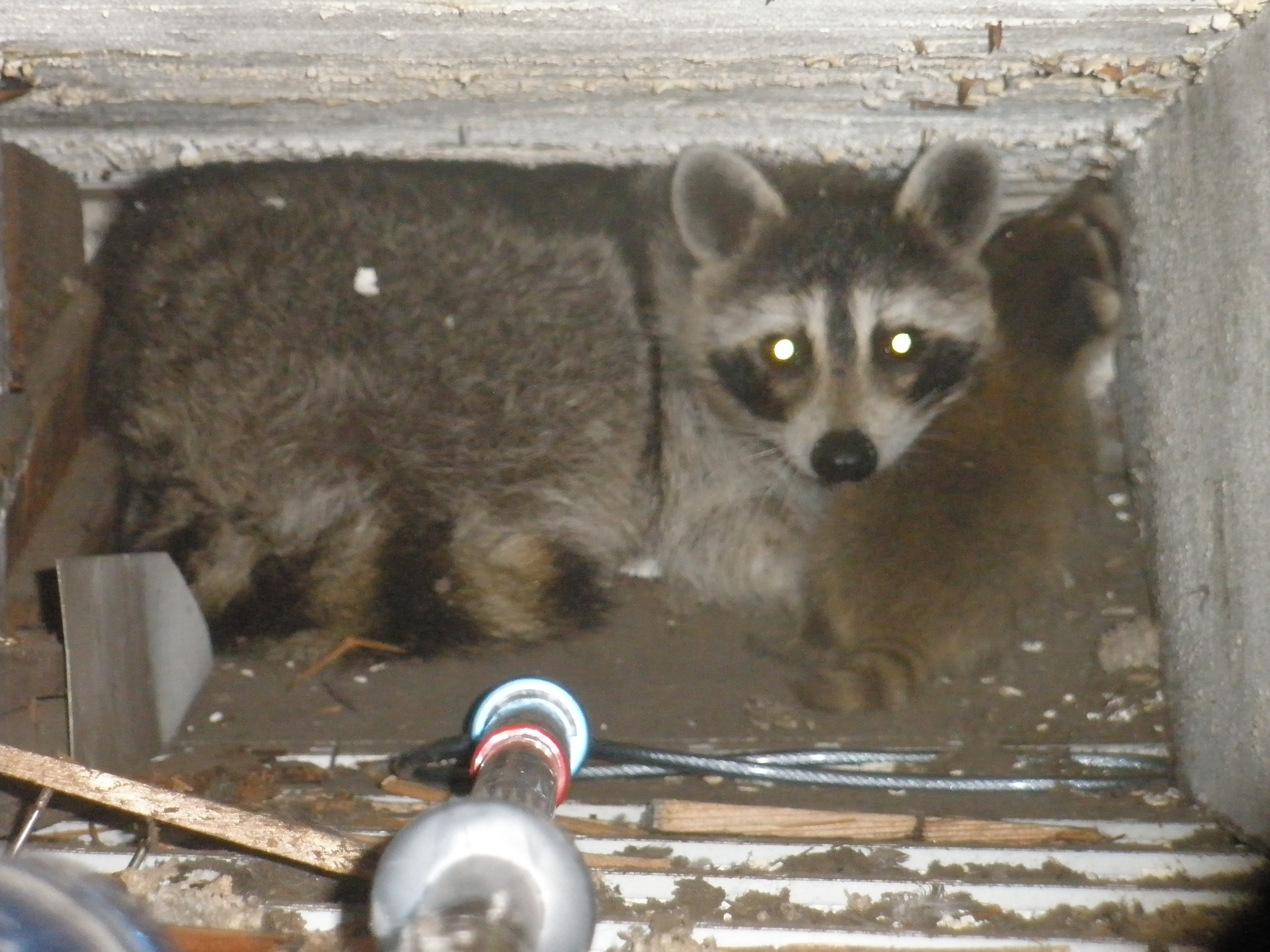 new jersey raccoon trapping and removal